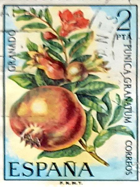 Santolina rosmarinifolia, botoneras