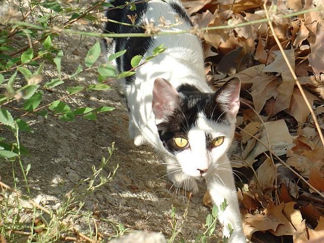 Felix libica, gato comun