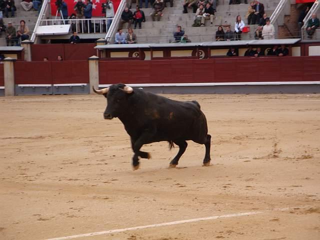 Loquerito, toro negro entrepelao de 535 kilos nacido en octubre de 2005 en la ganaderia Moreno Silva encaste Saltillo lidiao el 5º de la tarde del 30 de abril de 2009 en la plaza las Ventas de Madrid