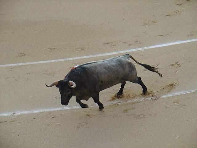 Milagroso, toro cardeno bragao corrido de 567 kilos nacido en enero de 2.005 en la ganaderia Jose Escolar encaste Albaserrada lidiao el 4º la tarde del 16 de mayo de 2009 en las Ventas
