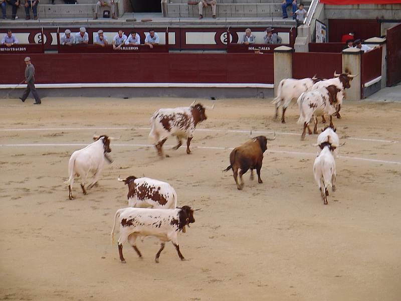 Presidiario, toro de Osborne encaste Osborne devuelto a los toriles el 26 de agosto de 2.007 en las Ventas
